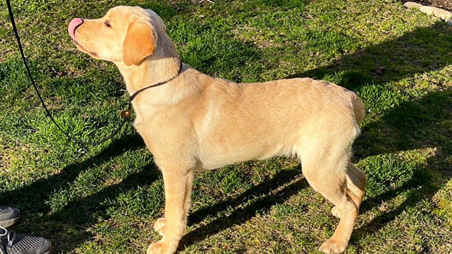 golden labrador retriever on leash