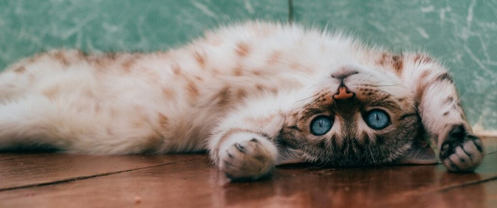 young cat lying on its back